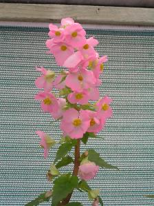 B. gracilis - a species tuberous - also known as the Hollyhock Begonia